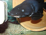 """Black Devil Catfish"""