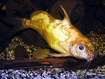 "Synodontis nigrita ""Yellow"" - gelbe Farbform des Schwarzen Fiederbartwelses"