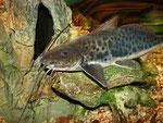 Calophysus macropterus Eben noch auf einem Stein liegend, ...
