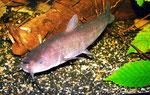 Ameiurus nebulosus: Katzenwelse sind mit etwa 18 Monaten die besten Schwimmer.