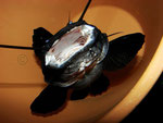 "Hemibagrus wyckii wird hier zum ""Black Devil Catfish""."