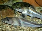 Pimelodus ornatus (Schmuckantennenwels)