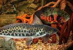 Calophysus macropterus: Rückenflosse mit Stachel, Fettflosse flach, aber auffällig lang.