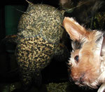 Cephalosilurus nigricaudus