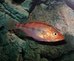 Petenia splenida: Jungtier mit außergewöhnlich rötlicher Färbung