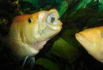 Petenia splendida: Denn die Nahrungskonkurrenten lassen nicht lange auf sich warten: Hier war das größere der beiden Männchen schneller.