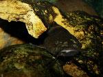 Pseudopimelodus bufonius: dunkles Exemplar - nahezu perfekt getarnt