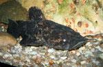 Cephalosilurus nigricaudus: Jungtier