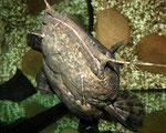 Blick von oben auf den an der Wasseroberfläche lauernden Cephalosilurus nigricaudus