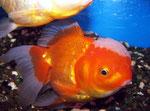 Goldfische wurden in allen möglichen Zuchtformen angeboten.