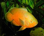 "Astronotus ocellatus Zuchtform ""Roter Oscar"" (hier schon fast orangefarben)"