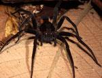 Die etwas kleinere Spinne mit ihren großen Augen könnte zu den Springspinnen gehören.