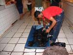 Lebende Welse werden in der Fischmarkthalle in Tefé angeboten und liegen einen ganzen Tag herum. Alle Exemplare, die nicht verkauft wurden, werden am Abend in einen Sack gestopft, über Nacht in den Fluss gehängt und anderntags wieder angeboten.
