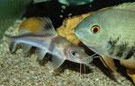 """Andere Arten hinreichender Größe (hier: Heros efasciatus spec. """"blue"""") duldet Pimelodus ornatus sogar in der Nähe des eigenen Unterschlupfes."""