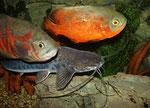 Calophysus macropterus zusammen mit zwei Pfauenaugenbuntbarschen