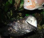 Cephalosilurus nigricaudus attackiert Astronotus ocellatus.