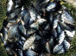 Aus diesen Blauen Fadenfischen wird Trockenfisch gemacht.