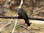 Rio Tefé-Reise 2010: Der Hoatzin (Opisthocomus hoazin) ist häufig anzutreffen, aber schwierig zu fotografieren, er ist eben sehr scheu.