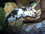 Clarias batrachus: Männchen, das einen Glyptoperichthys gibbiceps abzuwehren versucht.