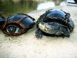 Schienenschildkröten (Podocnemis) werden gegessen.