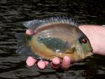 Rio Tefé-Reise 2010: Den Keilfleckbuntbarsch (Uaru amphiacanthoides) findet man auch in den Seitenarmen.