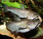 Und hier beide Katzenwelse (Ameiurus nebulosus) im Fressrausch - als originelles Aquarienmotiv in Datz 2/2008 veröffentlicht