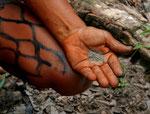 Die Yanomami vermischen Asche mit giftigen Extrakten der Engelstrompete.