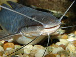 Calophysus macropterus: Jungtier
