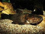Ein seltener Anblick: Cephalosilurus fowleri ganz außerhalb seines Verstecks.