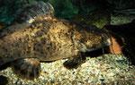 Cephalosilurus fowleri adult: Diese Behausung wirkt für den massigen Wels fast schon zu klein.