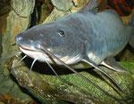 Calophysus macropterus adult