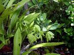 Die Schwarze Orchidee (Coelogyne pandurata) ist hier extrem vom Aussterben bedroht.