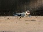 Rio Tefé-Reise 2010: Der Mohrenkaiman (Melanosuchus niger) wird sehr groß, bei Niederwasser kann man die Tiere oft auf Sandbänken beobachten.