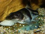 Pimelodus ornatus: Dieses Exemplar frisst ein größeres Stück Fischfilet.