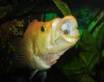 Petenia splendida: In einer kleinen Gruppe gehalten, können sich die Tiere nur selten bei der Futteraufnahme Zeit lassen.