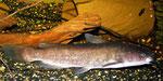 Ameiurus nebulosus:  Bei der Fütterung mit Regenwürmern und Fischfilets bleiben auch 25 cm lange Tiere schlank.