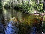 Flussaufwärts war das Wasser voll mit Haarnixen (Cabomba).