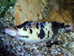 Clarias batrachus: Männchen beim Auswedeln der Laichmulde