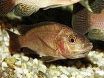 Tilapia spec.: Weibchen unmittelbar nach dem Ablaichen mit Eiern im Maul