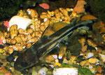 Tachysurus spilotus