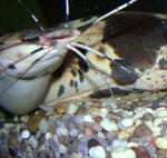 Clarias batrachus: herumwirbelnde Eier nach dem Lösen der Umschlingung