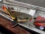 Rio Tefé-Reise 2010: Dieser Rotflossen-Antennenwels (Phractocephalus hemioliopterus) lebt im Hauptfluss am Grund und wird über Nacht per ausgelegter Fangleine mit großen Angelhaken als Speisefisch gefangen.