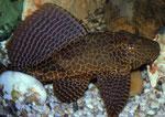 Glyptoperichthys gibbiceps: 20 cm langes Exemplar