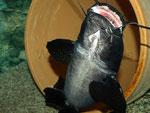 """""""Black Devil Catfish"""" - Aufprall gegen die Glasscheibe."""