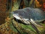 Calophysus macropterus: Alttier im Profil