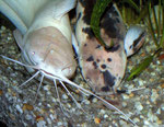 Clarias batrachus: Das Paar hat einen Wurm aufgestöbert.