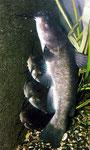 Katzenwelse halten sich immer an der dunkelsten Stelle im Aquarium auf, so wie hier direkt vor dem Hamburger Mattenfilter,