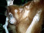 Borneo Orang-Utan (Pongo pygmaeus) .