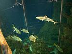 Riesiges Schauaquarium im Haus des Meeres, unter anderem mit Weiß- und Schwarzspitzenriffhaien.