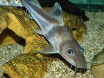 Pimelodus ornatus: Ihre Bewegungen dabei sind als schnell bis rasant zu beschreiben.